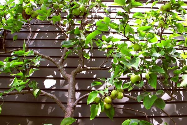 Espalier Apples
