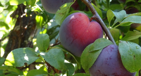 Making Plum Syrup - GrowingAGreenerWorld.com