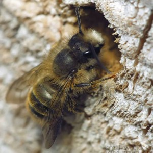 Episode 503 Solitary Bees Growing A Greener World 174