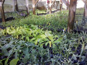 Plants propagated