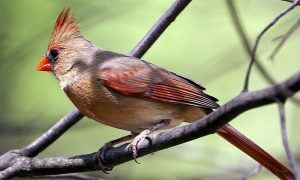 Episode 526 – Backyard Birds