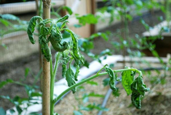 KillerCompost Tomato-sm