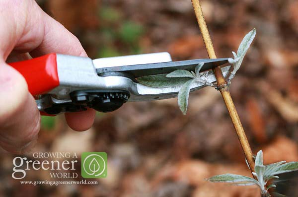 How to prune like a pro - GrowingAGreenerWorld.com