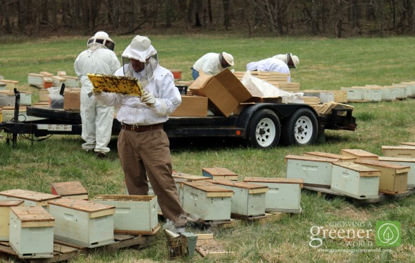 Beekeeping for Beginners - GrowingAGreenerWorld.com
