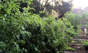 How to Top Tomatoes – What to do When Tomato Plants Get Too Tall