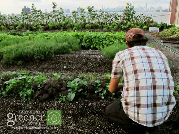 Rooftop Farming-Brooklyn Grange-GrowingAGreenerWorld.com