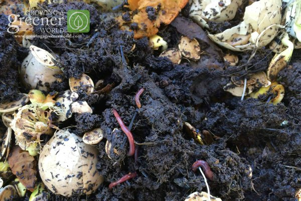 Vermicompost and red wigglers-GrowingAGreenerWorld.com
