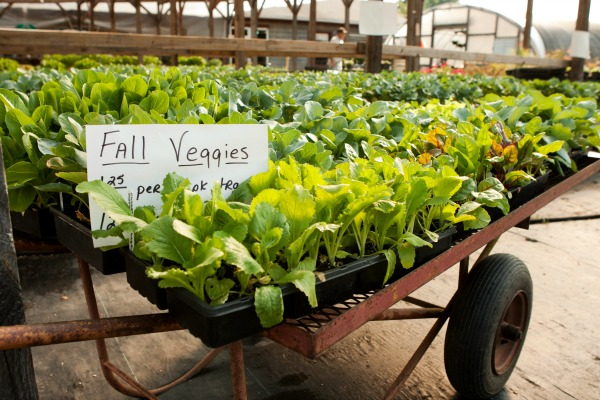 fall vegetables-www.GrowingAGreenerWorld.com