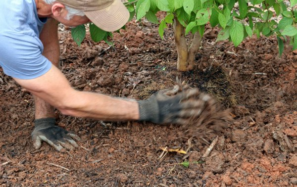 Knowing how to plant a tree means backfilling with native soil only-GrowingAGreenerWorld