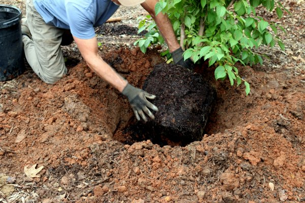 Knowing how to plant a tree involves Breaking Up Roots-GrowingAGreenerWorld