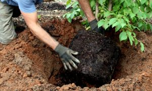 How to Plant A Tree the Right Way – 7 Steps for Getting it Right Every Time