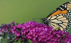 Episode 804 – Gardening for Butterflies & Other Beneficial Insects