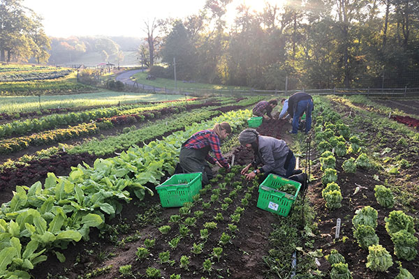 Harvesting at Stone Barns Farm