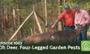 Episode 1003-Oh Deer: Dealing with Four-Legged Garden Pests, Big and Small